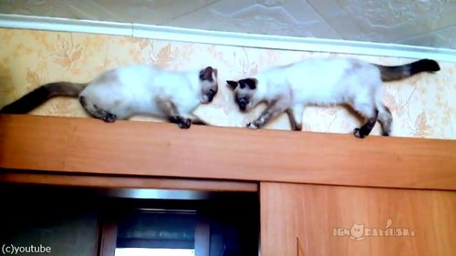 猫が正面衝突するかと思いきや01