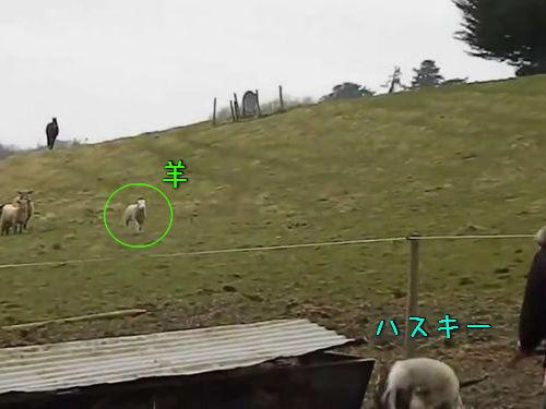 ハスキー犬と羊の友情