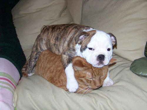 猫を屈服させる犬11
