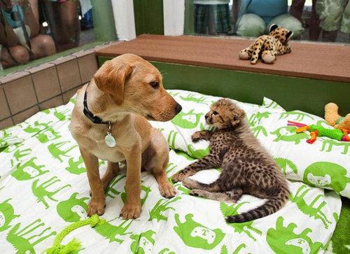 チーターと犬の友情01