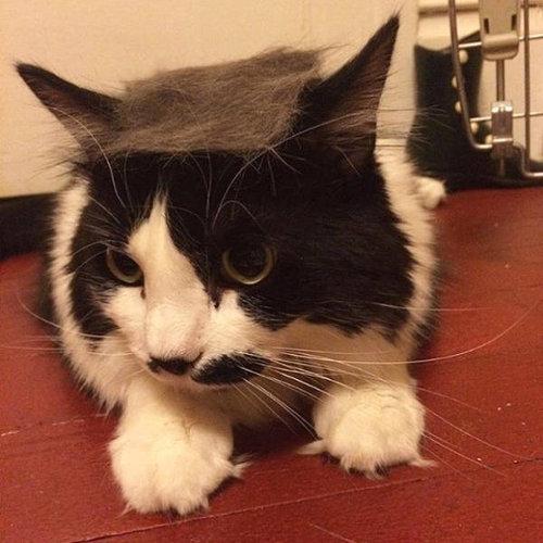 ブラッシングした猫の抜け毛をかつらに11