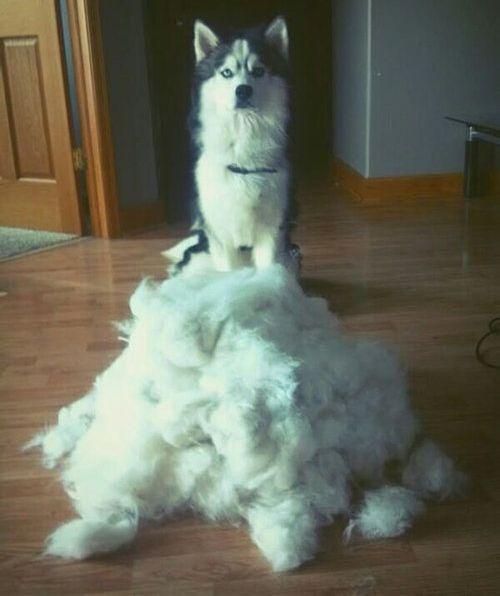 犬の毛変わり11