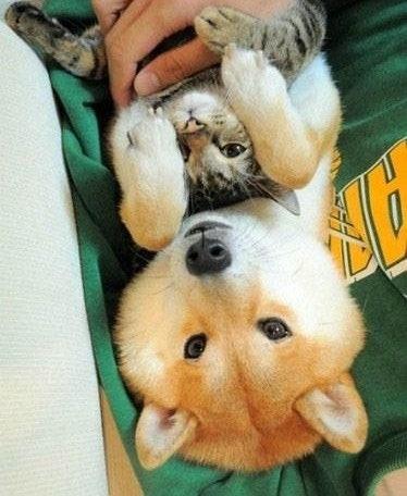 柴犬を飼う理由22