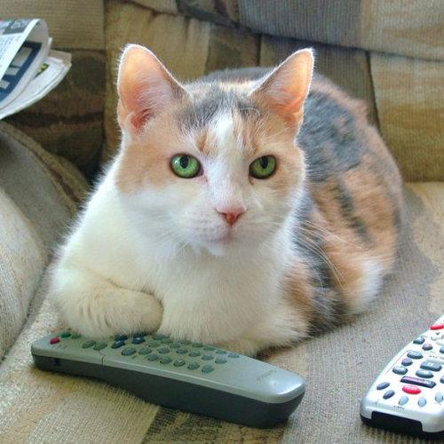 テレビを見るのを邪魔する猫11