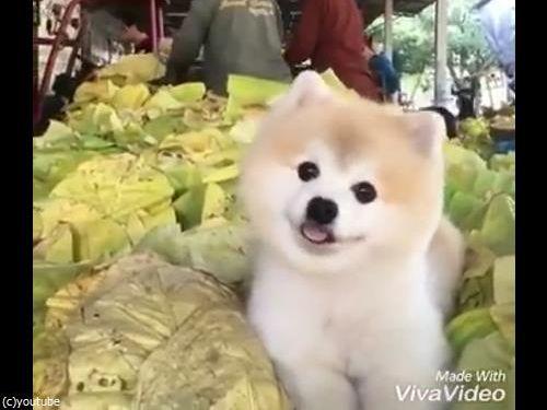 キャベツの山で微笑む犬05