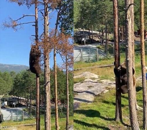 クマの木登り能力02