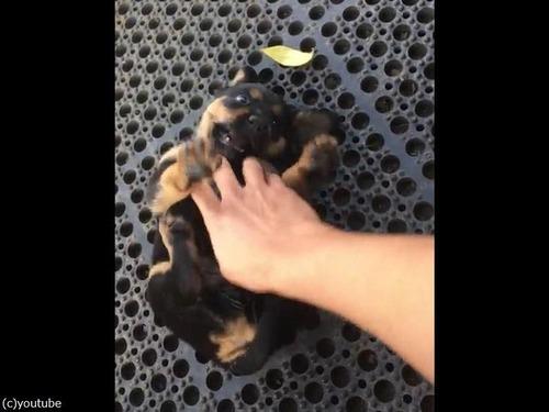 コチョコチョされるうちに眠る子犬03