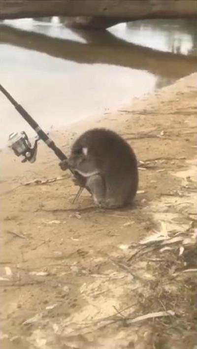 一体なぜ? 釣りを楽しむコアラが発見される02
