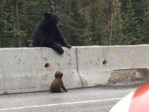高速道路から子グマを助け出す母グマ01