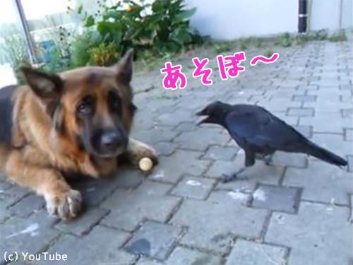 カラスとボールで遊ぶ犬00