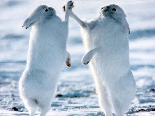 北極ウサギ04