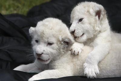 ホワイト・ライオンの赤ちゃんたち04