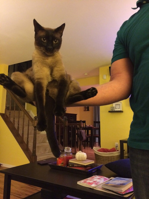 うちの猫は手の上に座るのが好き01