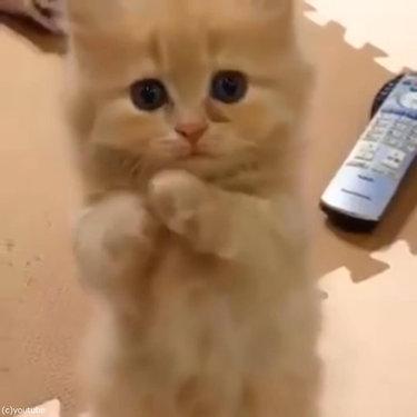 ペルシャ猫の赤ちゃん、お願いのポーズ01