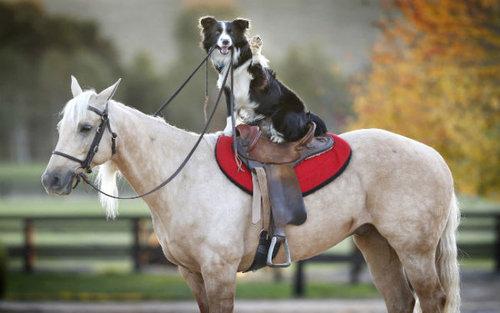 馬に騎乗する犬01
