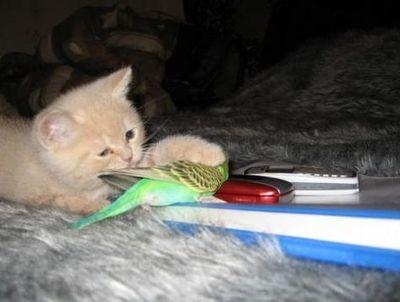 破壊力抜群の猫とインコ画像02