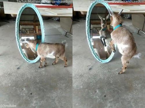 鏡と戦う子ヤギ02