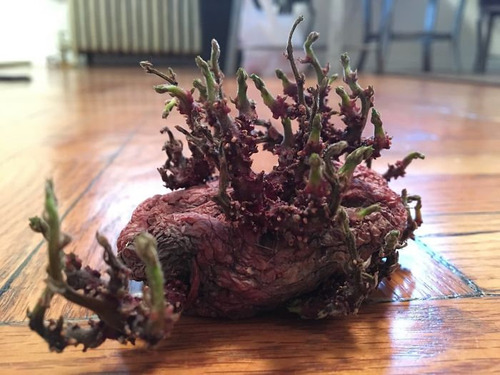 ジャガイモを放置して発芽してしまった例10