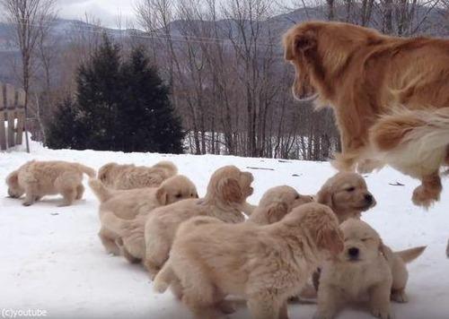 ママ犬とじゃれる子犬たち03