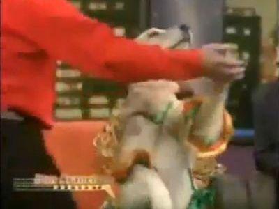 社交ダンス犬