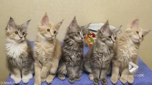 シンクロ率400%なメインクーンの子猫たち01