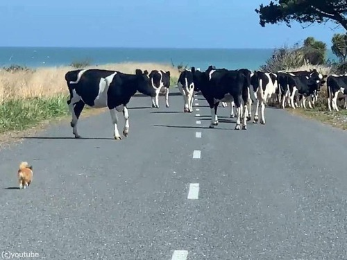 チワワが脱走した牛たちを追う03