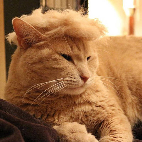 ブラッシングした猫の抜け毛をかつらに07