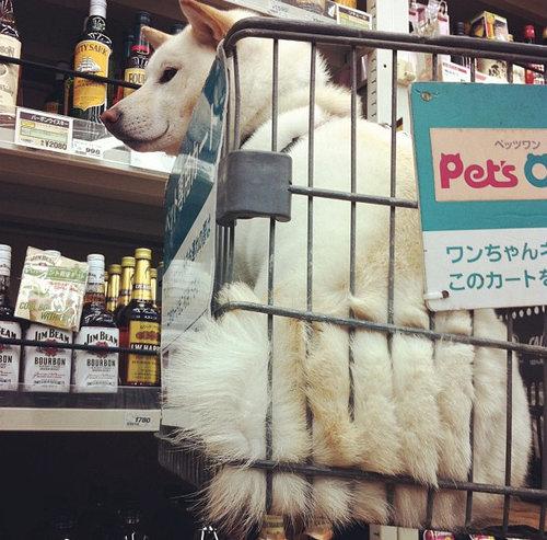 柴犬を飼う理由09