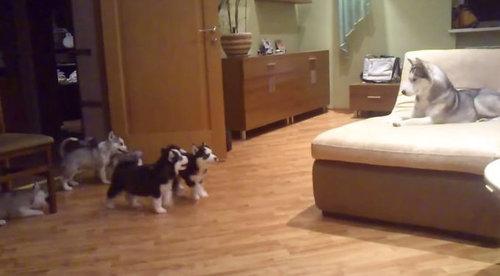 ママハスキーと子犬ハスキー01