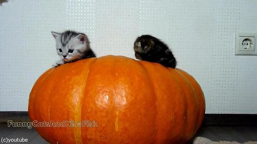 かぼちゃが猫ホイホイ05