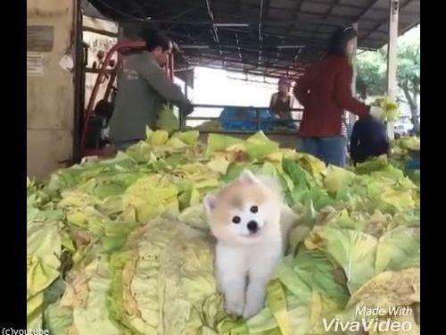 キャベツの山で微笑む犬02