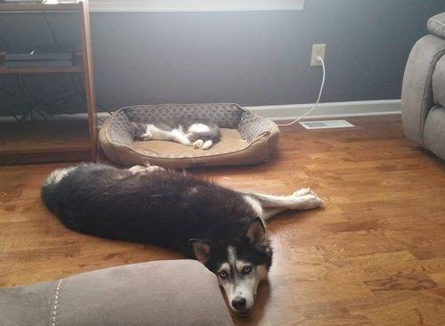 猫にベッドを奪われた犬たち15