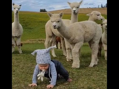 人間の赤ちゃんが気になるアルパカたち00