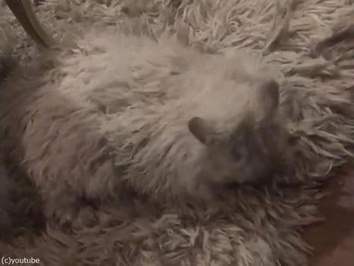 猫の飼い主「うちのラグは一部が動く…」02