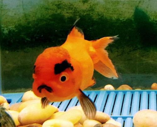 アングリー金魚02
