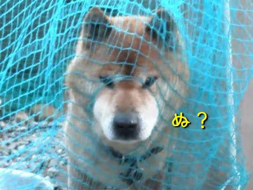ネットに顔を突っ込む柴犬