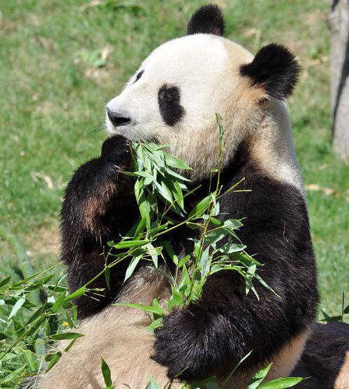 笹を食べるレッサーパンダ07