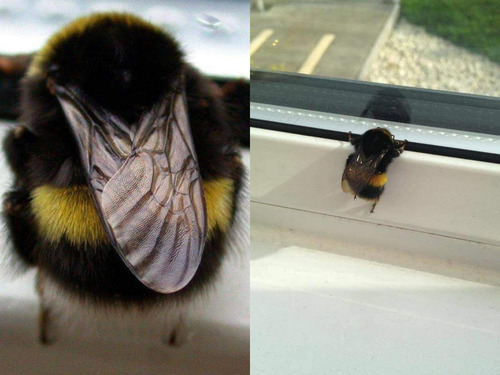 「ミツバチの世界にもおデブさんがいた」01