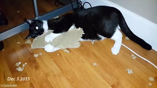 ダンボールをぼこぼこに粉砕する猫08