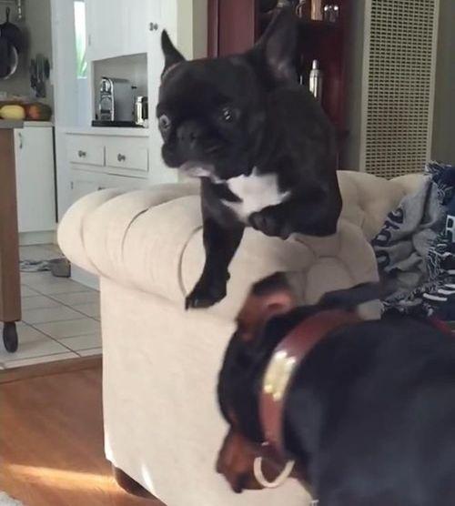 犬のジャンプ失敗03