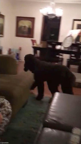 テレビが消えると「よいこは寝る時間」と自室に戻る犬09