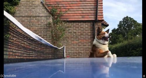 犬が卓球の審判をすると01