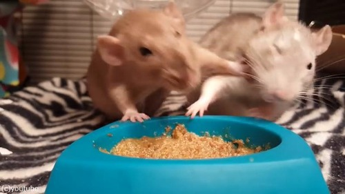 ネズミの食事バトル02