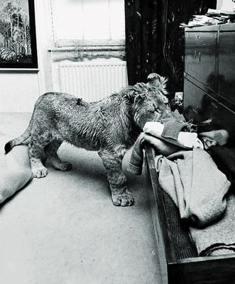 ライオンのクリスチャン「Christian」と再会11