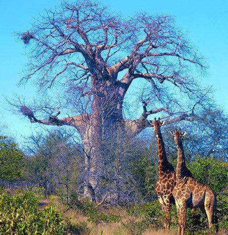 バオバブの木14