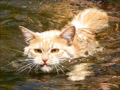 泳ぐ猫13