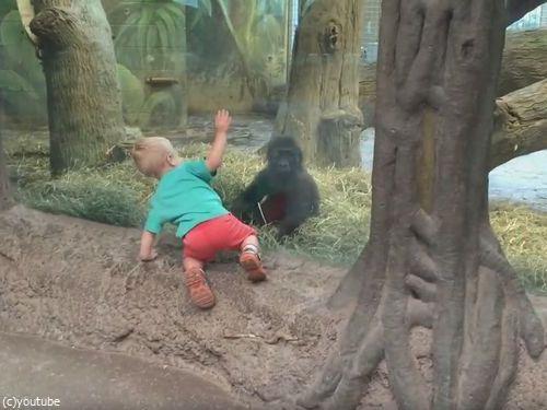 ガラス越しに人間の子供とゴリラの子供が遊ぶ01