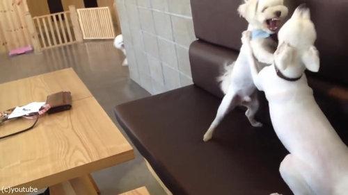 ケンカを始めた犬2匹と仲裁する1匹01