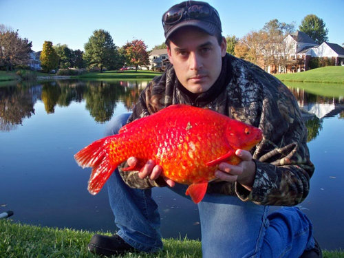 金魚が飼えなくなって人々が湖に放したその結果03