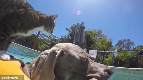 犬の背中に乗ってプール遊びをする猫02